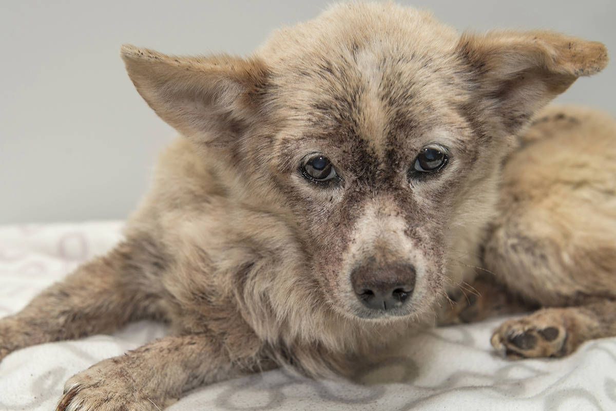 Control Flea Infestation in Dogs