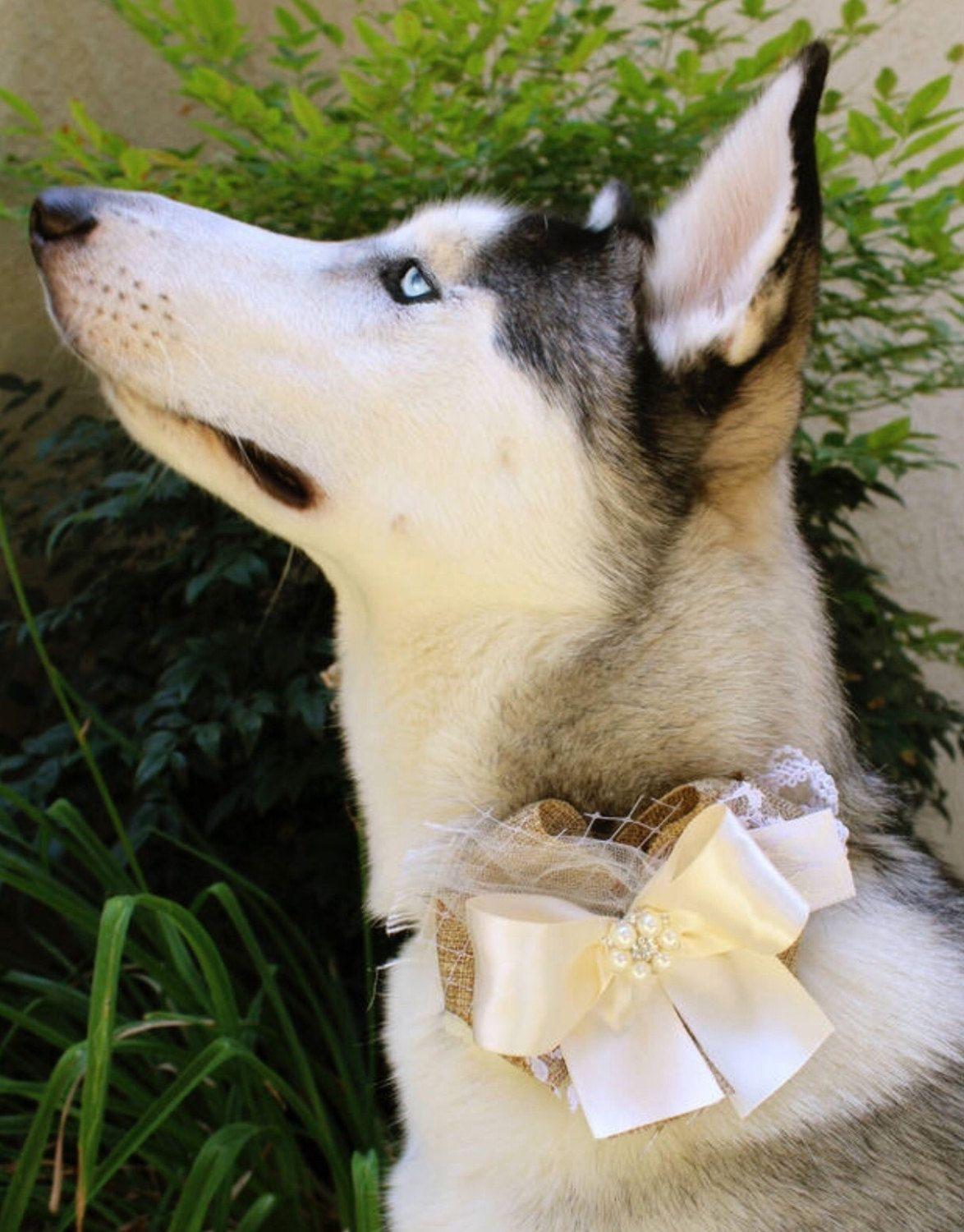 Different Types of Dog Collars husky