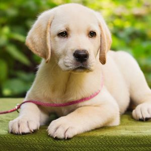 Guide to Finding the Right Labrador Retriever