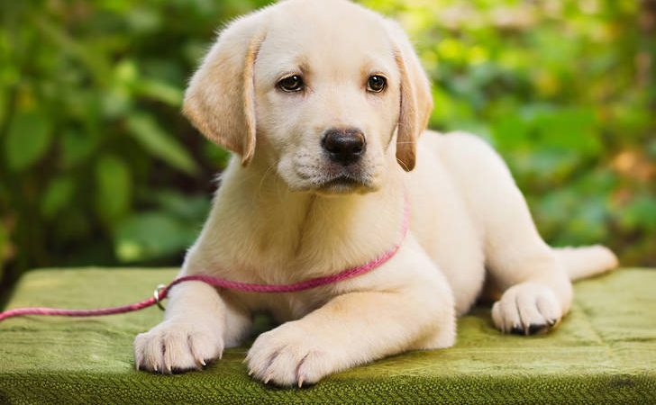Guide to Finding the Right Labrador Retriever