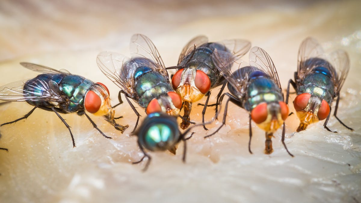 How a Housefly Can Spread Diseases?
