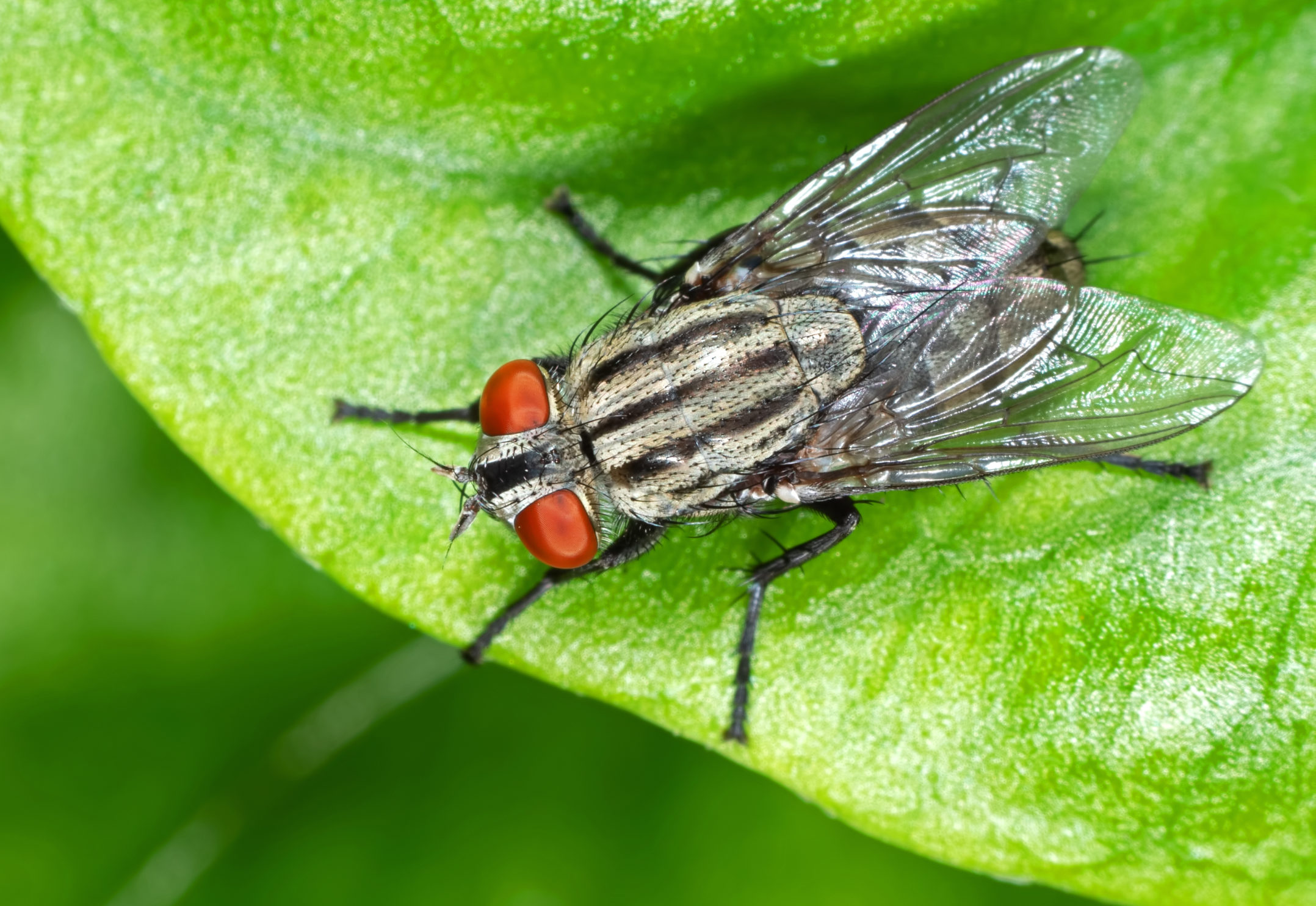 Housefly Can Spread Diseases