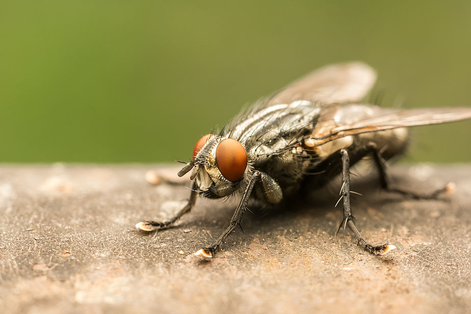 Housefly Can Spread
